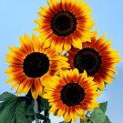 HOBBY, Květiny letničky – Slunečnice roční Orange Mahogany Bicolour F1, 9295