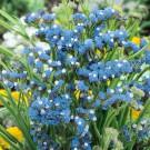 HOBBY, Květiny letničky – Statice sinuata (limonka) Blue, 9371