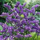HOBBY, Květiny letničky – Statice sinuata (limonka) Dark Blue, 9372