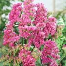 HOBBY, Květiny letničky – Statice sinuata (limonka) Rose, 9374