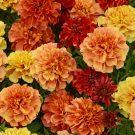 HOBBY, Květiny letničky – Aksamitník rozkladitý Strawberry Blonde, 9507