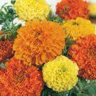 HOBBY, Květiny letničky – Aksamitník vzpřímený Imperiale, 9530