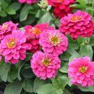 HOBBY, Květiny letničky – Ostálka  Cherry Double, 9594