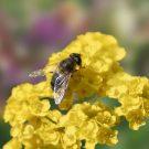 HOBBY, Květiny letničky – Směs pro včely, 9945