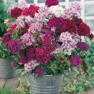 HOBBY, Květiny trvalky – Hvozdík bradatý Fragrance, 9616