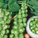 HOBBY, zelenina - Kapusta růžičková, 1500 (Brassica oleracea L. convar. oleracea var gemmifera DC.)