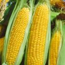 HOBBY, zelenina - Kukuřice setá cukrová, 1700 (Zea mays L.)