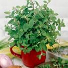 HOBBY, zelenina - Majoránka zahradní, 2000 (Origanum Majorana L.)