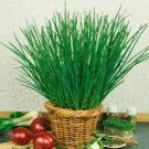 HOBBY, zelenina - Pažitka čínská, 2800 (Allium schoenoprasum L.)