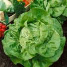 HOBBY, zelenina - Salát hlávkový (pro rychlení), 3700 (Lactuca sativa L. var. capitata L.)