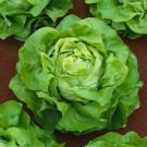 HOBBY, zelenina - Salát hlávkový (pro pole), 3800 (Lactuca sativa L. var. capitata L.)