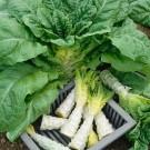 HOBBY, zelenina - Salát chřestový, 3890 (Lactuca sativa L. var. capitata L.)