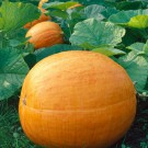 HOBBY, zelenina - Tykev , 4000 (Cucurbita sp. L.)