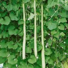 HOBBY, zelenina - Kalabasa, 4090 (Lagenaria siceraria L.)