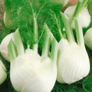 HOBBY, zelenina - Fenykl obecný, 4500 (Foeniculum vulgare Mill. ssp. vulgare var. azoricum)