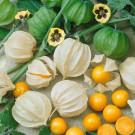 HOBBY, zelenina - Mochyně peruánská, 4950 (Physalis peruviana L. Nakai)