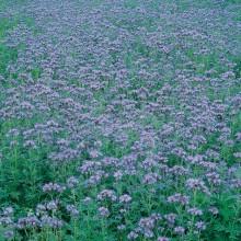 HOBBY, Semena na zeleno - Svazenka vratičolistá - medonosná plodina, 8703