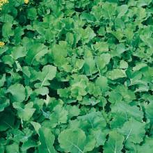 HOBBY, Semena na zeleno - Směs hořčice a řepky, 8755