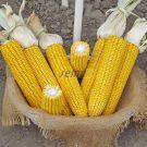 HOBBY, ostatní – kukuřice na zrno