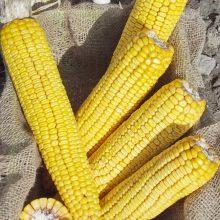 PROFI, Ostatní - Kukuřice setá ZELSEED ZE Karuzel F1, p1784 (Zea mays)