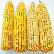 PROFI, Ostatní - Kukuřice setá ZELSEED ZE Zelstar F1, p1787 (Zea mays)