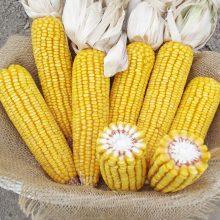 PROFI, Ostatní - Kukuřice setá ZELSEED ZE Otis F1, p1788 (Zea mays)