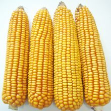 PROFI, Ostatní - Kukuřice setá ZELSEED ZE Edox F1, p1789 (Zea mays)