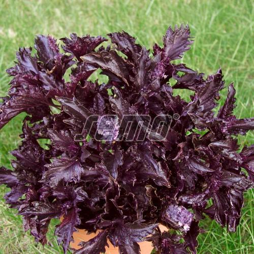 PROFI, Bylinky SEMO - Bazalka pravá Purple Ruffles, p5898 (Ocimum basilicum L.)