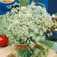 PROFI, Bylinky SEMO - Anýz, p5902 (Pimpinella anisum L.)