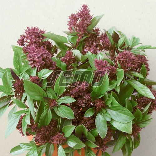 PROFI, Bylinky SEMO - Bazalka pravá Siam Queen, p5903 (Ocimum basilicum L.)