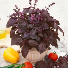 PROFI, Bylinky SEMO - Bazalka pravá Purple Opaal, p5907 (Ocimum basilicum L.)