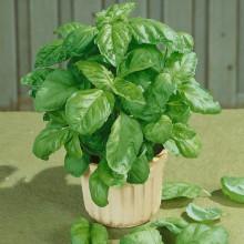 PROFI, Bylinky SEMO - Bazalka pravá Lettuce Leaf, p5908 (Ocimum basilicum L.)