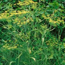 PROFI, Bylinky SEMO - Fenykl obecný, p5915 (Foeniculum vulgare Mill.)