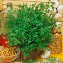PROFI, Bylinky SEMO - Kerblík Commun, p5920 (Anthriscus cerefolium L.)