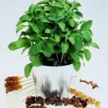 PROFI, Bylinky SEMO - Stévie sladká, p5954 (Stevia rebaudiana (BERTONI) HEMSL.)