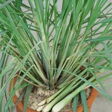 PROFI, Bylinky SEMO - Citronová tráva, p5969 (Cymbopogon citratus)