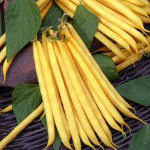 PROFI, Osivo Pop Vriend Seeds - Fazol keříčkový Goldplay, p0980 (Phaseolus vulgaris L.)