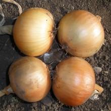 PROFI, Zelenina SEMO - Cibule kuchyňská Wellina, p0531 (Allium cepa L.)