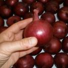 PROFI, Zelenina SEMO – Cibule kuchyňská Karmen, p0551