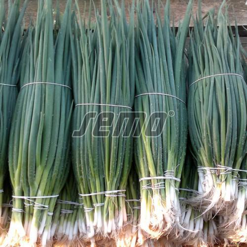 PROFI, Zelenina SEMO - Cibule zimní SM C 3 (KAJ), p0590 (Allium fistulosum L.)