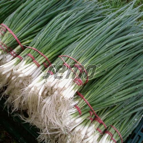 PROFI, Zelenina SEMO - Cibule zimní Gerda, p0591 (Allium fistulosum L.)