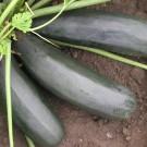 PROFI, Zelenina SEMO – Tykev cuketa Startgreen F1, p0611