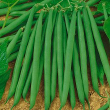 PROFI, Zelenina SEMO - Fazol obecný keříčkový Gama, p0902 (Phaseolus vulgaris L.var. nanus (L.) Aschers.)