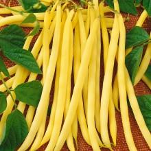 PROFI, Zelenina SEMO - Fazol obecný keříčkový Aidagold, p0913 (Phaseolus vulgaris L.var. nanus (L.) Aschers.)