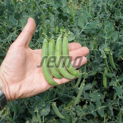 PROFI, Zelenina SEMO - Hrách setý dřeňový Junos, p1003 (Pisum sativum L. convar. medullare Alef. emend C.O. Lehm)