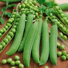 PROFI, Zelenina SEMO - Hrách setý dřeňový Avola, p1081 (Pisum sativum L. convar. medullare Alef. emend C.O. Lehm)