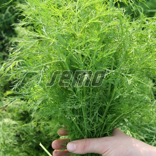 PROFI, Zelenina SEMO - Kopr vonný Mamut, p1605 (Anethum graveolens L.)