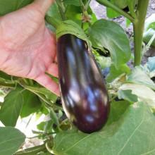 PROFI, Zelenina SEMO - Lilek vejcoplodý Český raný, p1901 (Solanum melongena L.)