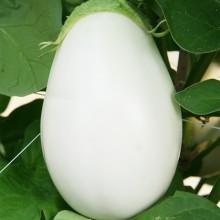 PROFI, Zelenina SEMO - Lilek vejcoplodý Clara F1, p1916 (Solanum melongena L.)