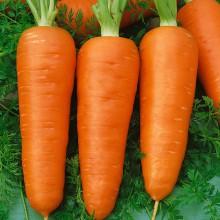 PROFI, Zelenina SEMO - Mrkev obecná Chamare, p2231 (Daucus carota L.)